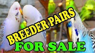 australian parrots red eyes price in karachi - 免费在线视频