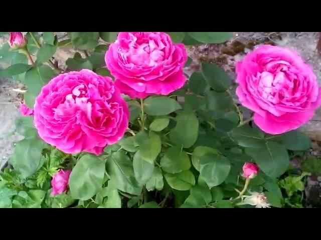 РОЗЫ! Сорт роз «Heidi Klum Rose»,