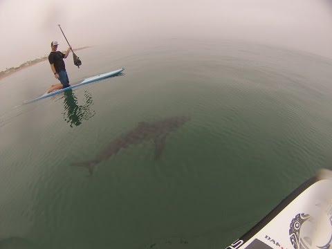 Guys on Paddleboards Mess with Great White Sharks & DON'T Get Eaten?!