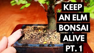 Chinese Elm Bonsai Care: Assess and Location (Part 1)