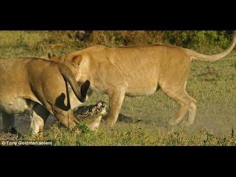 Sekeluarga Di Makan Singa Hutan