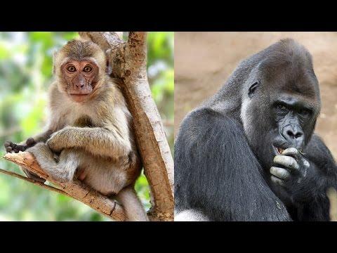 ¿Monos o Simios?