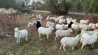 Video Mähhhdrescher: Die Schafe von Olaf Kolecki machen Landschaftspflege in Falkensee!