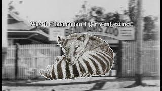 Why the Tasmanian Tiger Became Extinct!