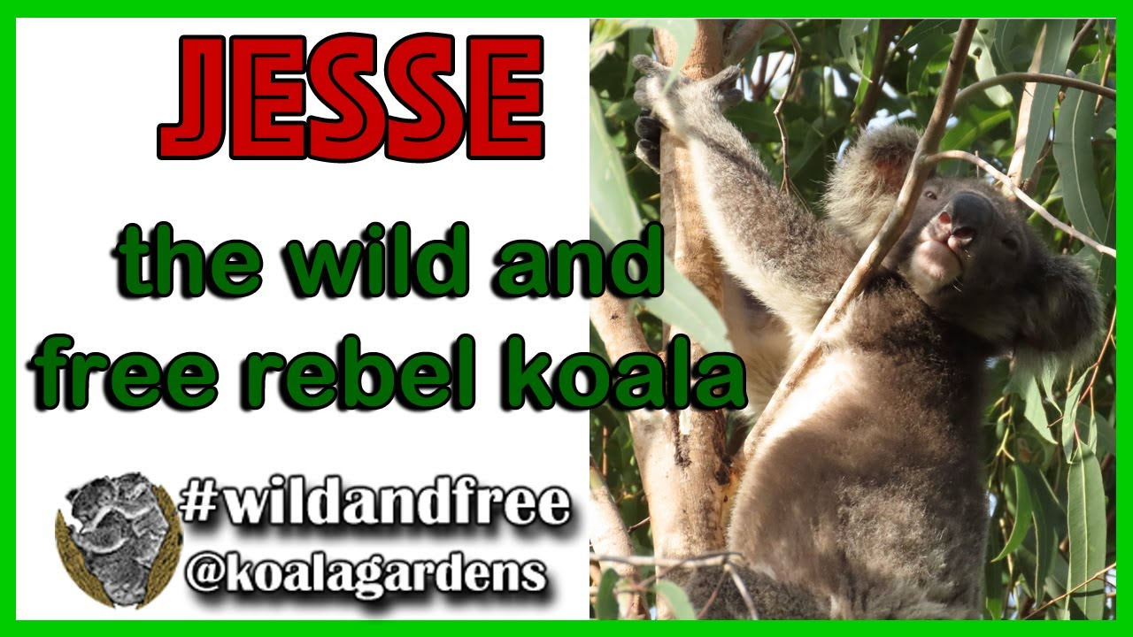 Jesse – the wild and free rebel koala