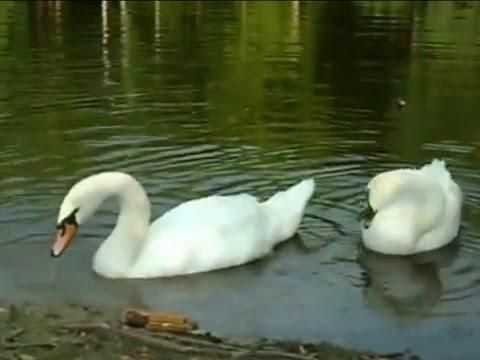 Лебединая песнь