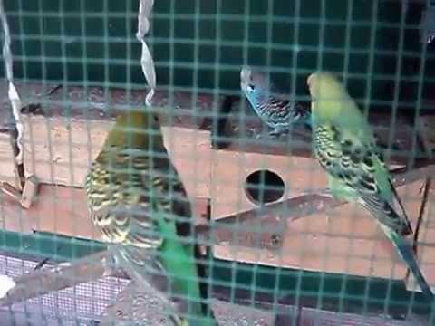 Video Jurus Jitu Beternak Burung Parkit Langsung Bikin Kaya