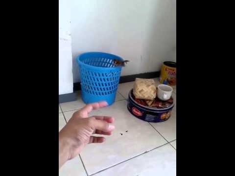 Video Emprit Jinak free fly Lonchura leucogastroides