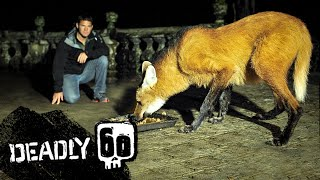 Steve Meets the Strange and Endangered Maned Wolf | Deadly 60 | BBC Earth Kids