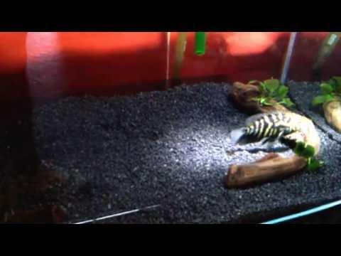 Pinworms fertőzés jelei