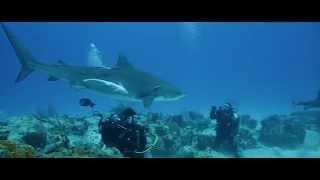 Documentaire sur les requins tigres HD