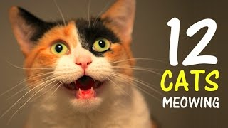 12 CATS MEOWING LOUDLY | Make your Cat Go Crazy! 2.0 HD