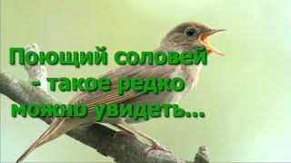 Поющий соловей!  Редко такое можно увидеть ......Наслаждайтесь)))