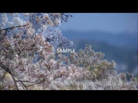 動画制作にどうぞ! 「桜」の素材を提供します 満開・風に吹かれる・雪の中・静かに散る…などなど イメージ1