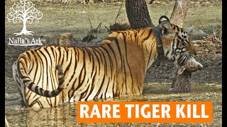 Rare Tiger Kill of a Fawn by Drowning in Water - Ranthambhore National Park, India