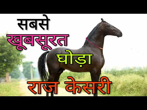 10 करोड़ का घोड़ा, Raj Kesri सबसे सुन्दर घोड़ा Most beautiful Horse of India | Marwadi Breed | Pushkar