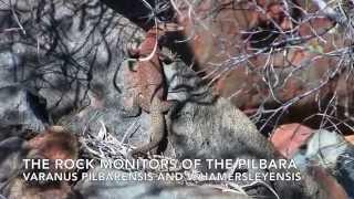 Pilbara Rock Monitors