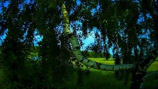 Birch tree pruning | FPV freestyle