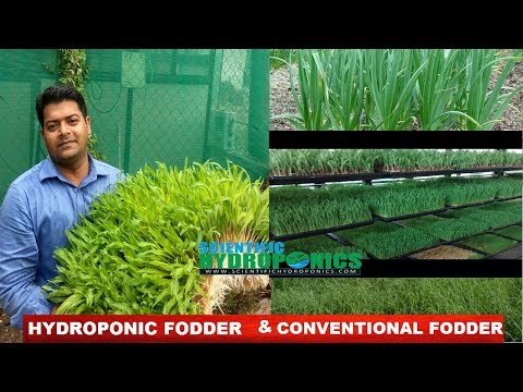 Ashwin Sawant | Difference between hydroponic fodder (Grass ) and conventional fodder