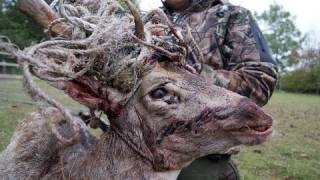 Fieldsports Britain – Fallow buck in a tangle + Hampshire foxes + calling muntjac