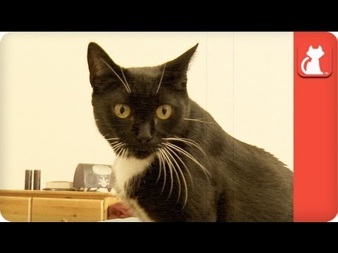 Mickey, an adopted Tuxedo & American Shorthair Mix in Woodland Hills, CA_image-1