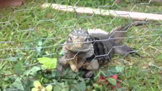 Feeding time for Cayman Hybrid Iguana