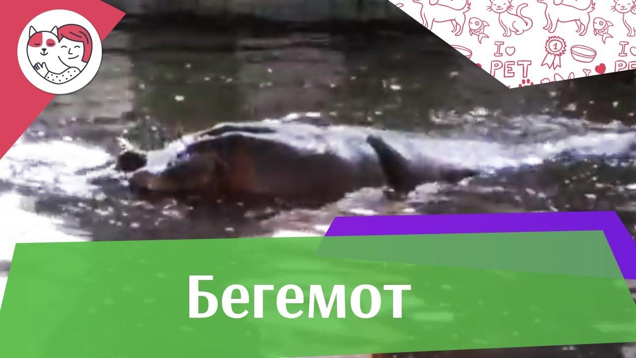 Бегемот Поведение на ilikepet