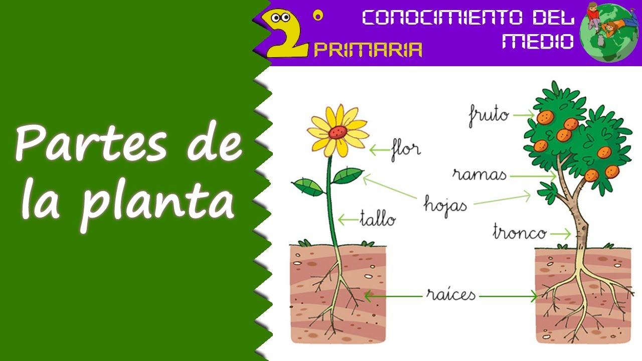 Cono, 2º Primaria. Tema 6. Las partes de la planta