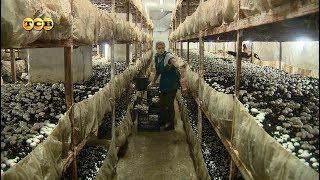 Выращивание грибов у себя на даче: Идея для бизнеса - видео онлайн