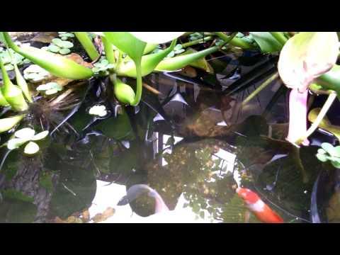 Video Eceng gondok sebagai penjernih kolam ikan di halaman