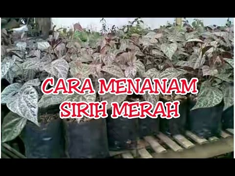 Video Cara Menanam Sirih Merah
