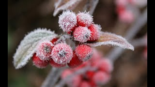 "Beautiful Christmas Carol ~ Christmas Carol Acappella ~ ""Holly and The Ivy"" ~ Artisan"