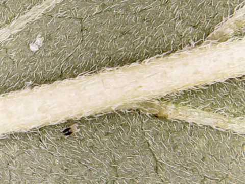 Cloves ginagamit sa katutubong gamot para sa bulate