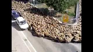 INCREDIBILE GUARDATE!!! Gregge Di Pecore Infinito