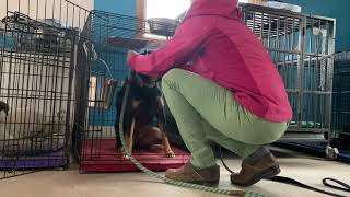 How to get a fearful, growling, human aggressive dog out of a crate