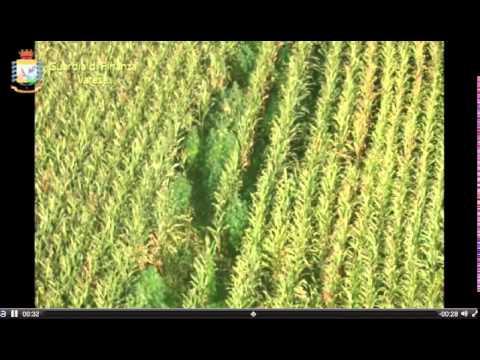 Marijuana nei campi di grano