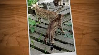 Бенгальские кошки (стерилизованные)