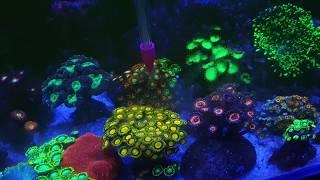 Якопо цукки ловля кораллов