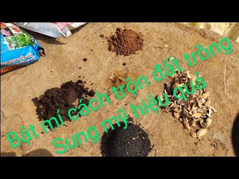 7kg | Bật mí cách trộn đất giúp Sung mỹ cho hơn 100 trái sau 6 tháng tại Làng yến Tiến Đạt