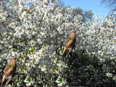 Пение птиц в моем саду
