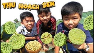 Tony | Dẫn Team Đi Hái Sen Ngoài Ruộng - Collect Lotus Seed-pod