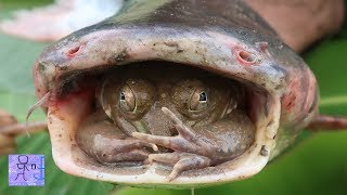 Phát Hiện Sinh Vật Kỳ Lạ Trong Miệng Cá Khổng Lồ .Hiện Tượng Khó Tin .Amazing Frog In Big Fish