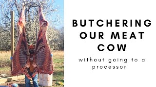 Harvesting, Butchering, and Processing Our Family Meat Cow | how much meat did we get?