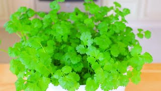 How to Quickly Grow Cilantro Indoor? CiCi Li - Asian Home Cooking Recipes
