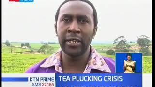 KTN Business: Tea plucking machines raise hackles
