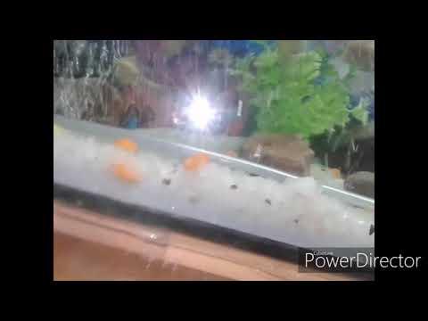 Oscar shark Molly kissing gourami fish tank aquarium