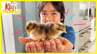 Ryan's Pet Chicks Names Reveal!!!