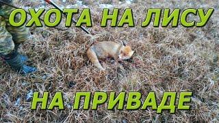 Приманка для лисы