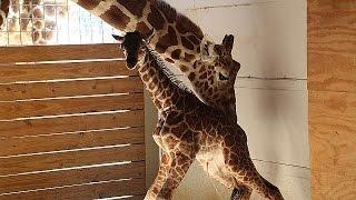 Апреля жираф, мать и звездой интернета