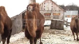 Верблюды нападают на людей